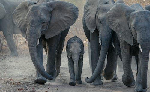 Gray Elephant Walking on Brown Soil