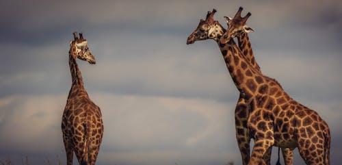Brown and Black Giraffe Under Cloudy Sky