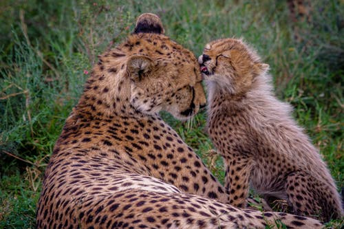Cheetah and Leopard on Green Grass Field