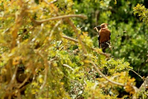 Free stock photo of african hoopoe, bird, caterpillar