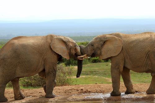 Elephant Walking on Dirt Road