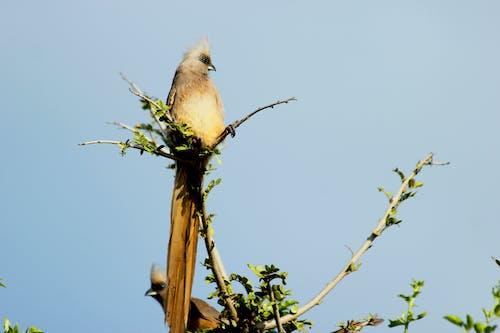 Free stock photo of bird, grey go away bird, grey lourie