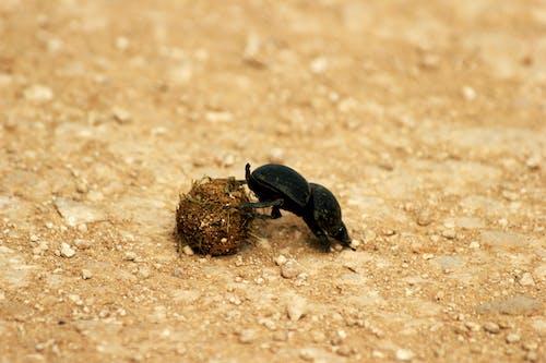 Black Beetle on Brown Sand