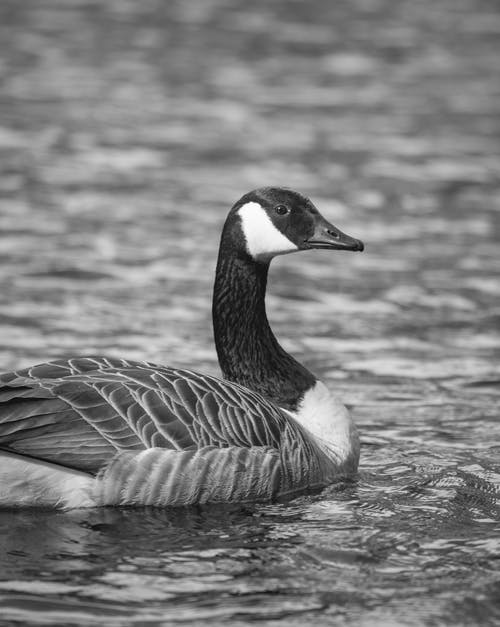 Grayscale Photo of Duck Swimming in the Water
