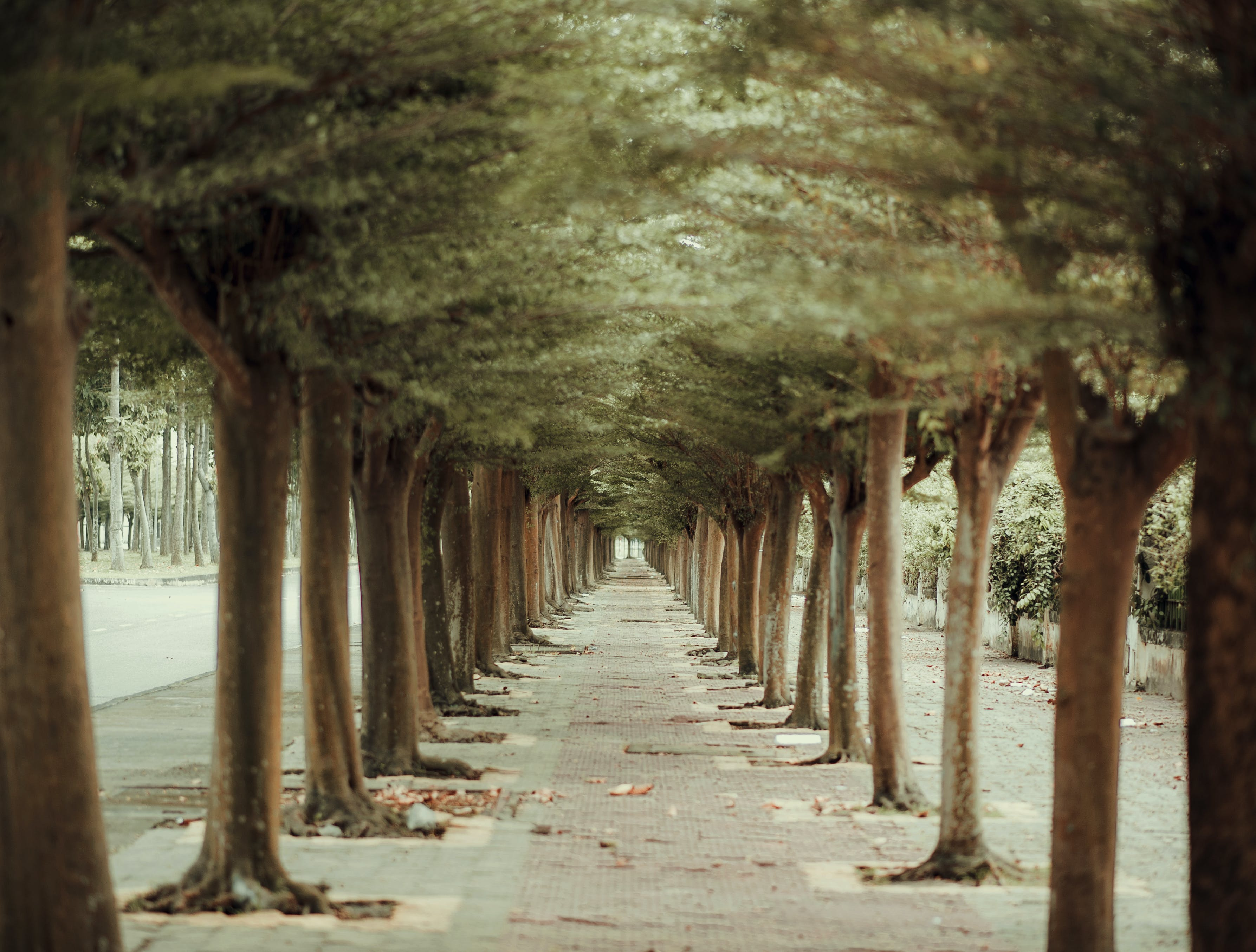Trees in Straight Line Beside Pathway