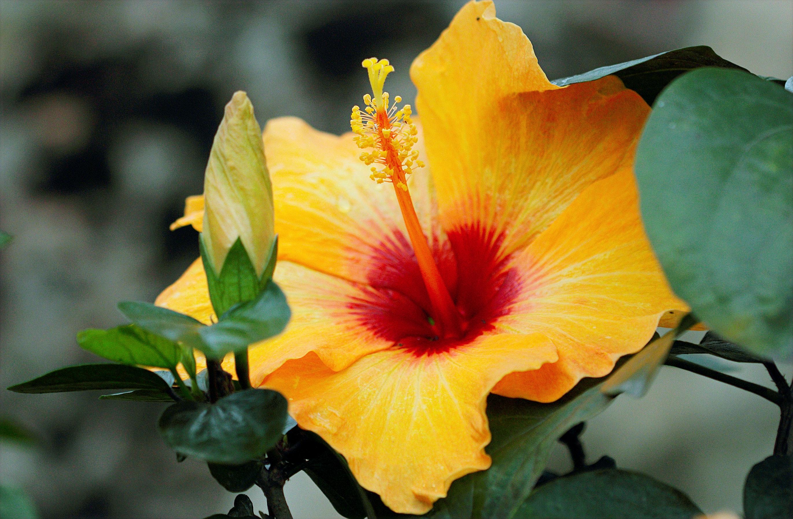 Yellow Hibiscus Free Stock Photo
