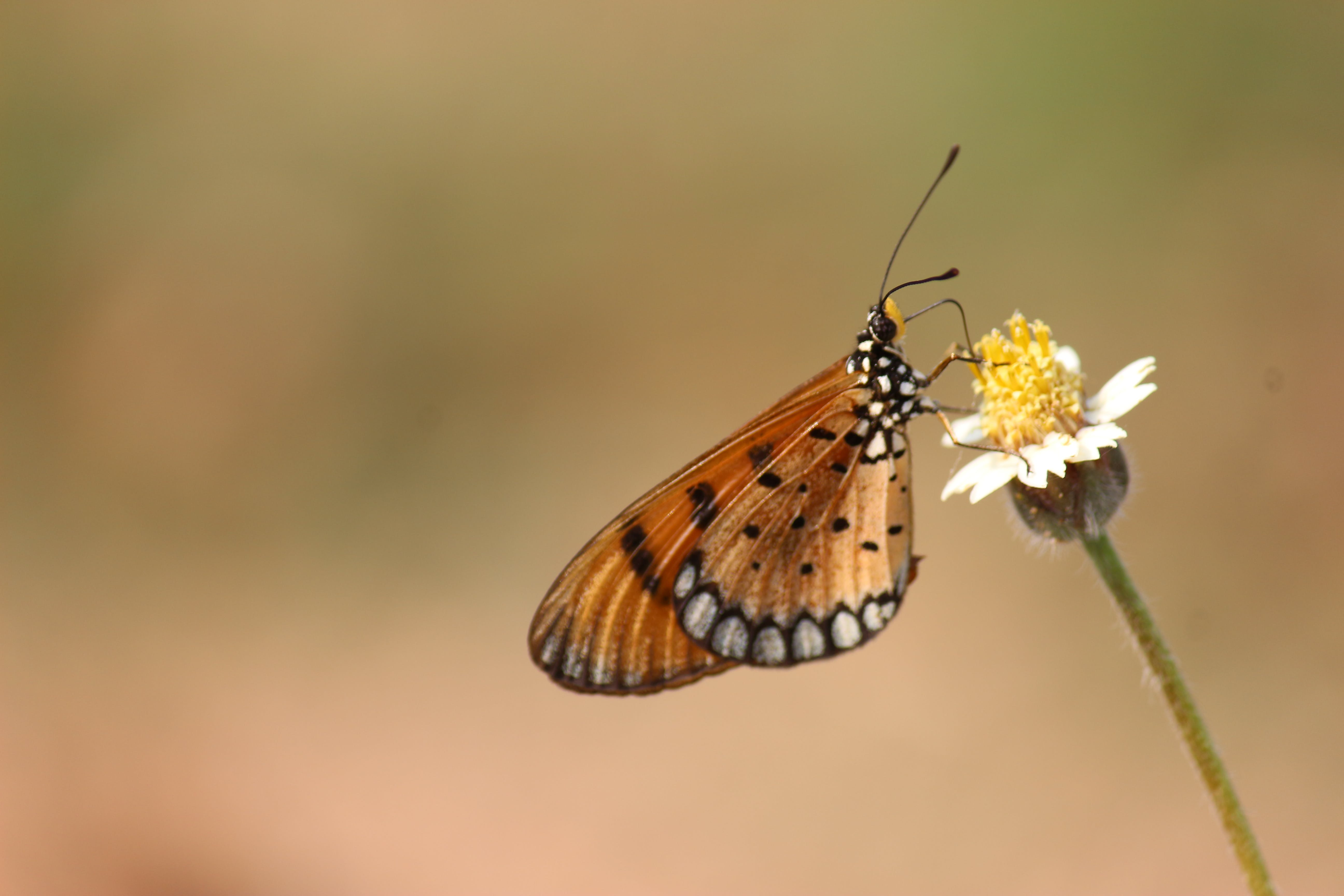 Brown and Black Butterfly on White Petaled Flower