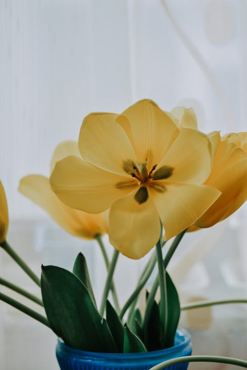 Bunch of fresh yellow tulips with long thick leaves in blue vase placed on white background near window in light room