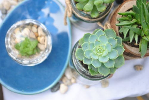 Free stock photo of echeveria