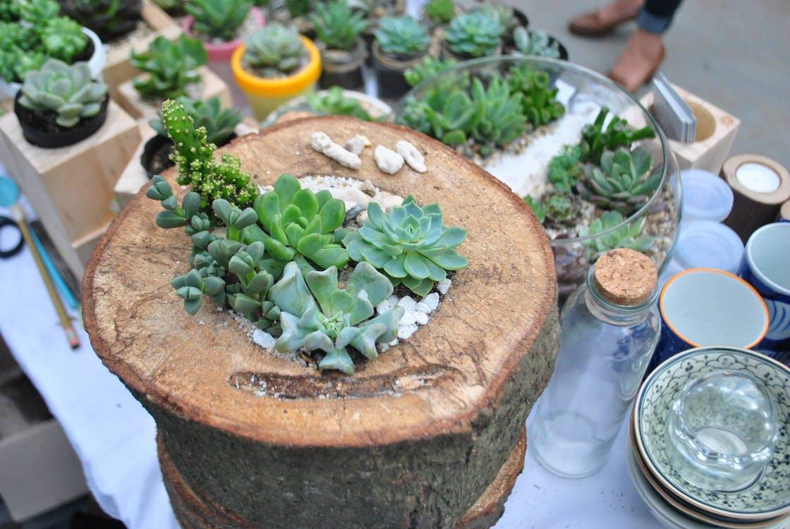 Free stock photo of succulent plants, wood planter