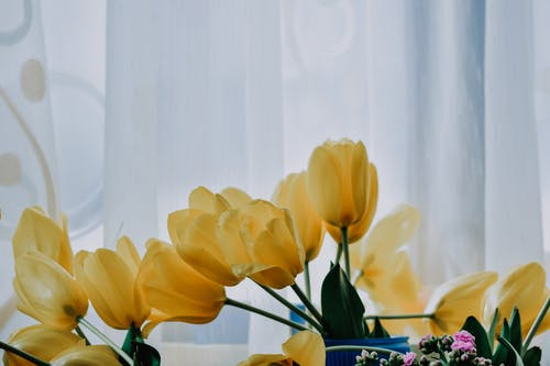 Yellow Tulips with Curtain Background