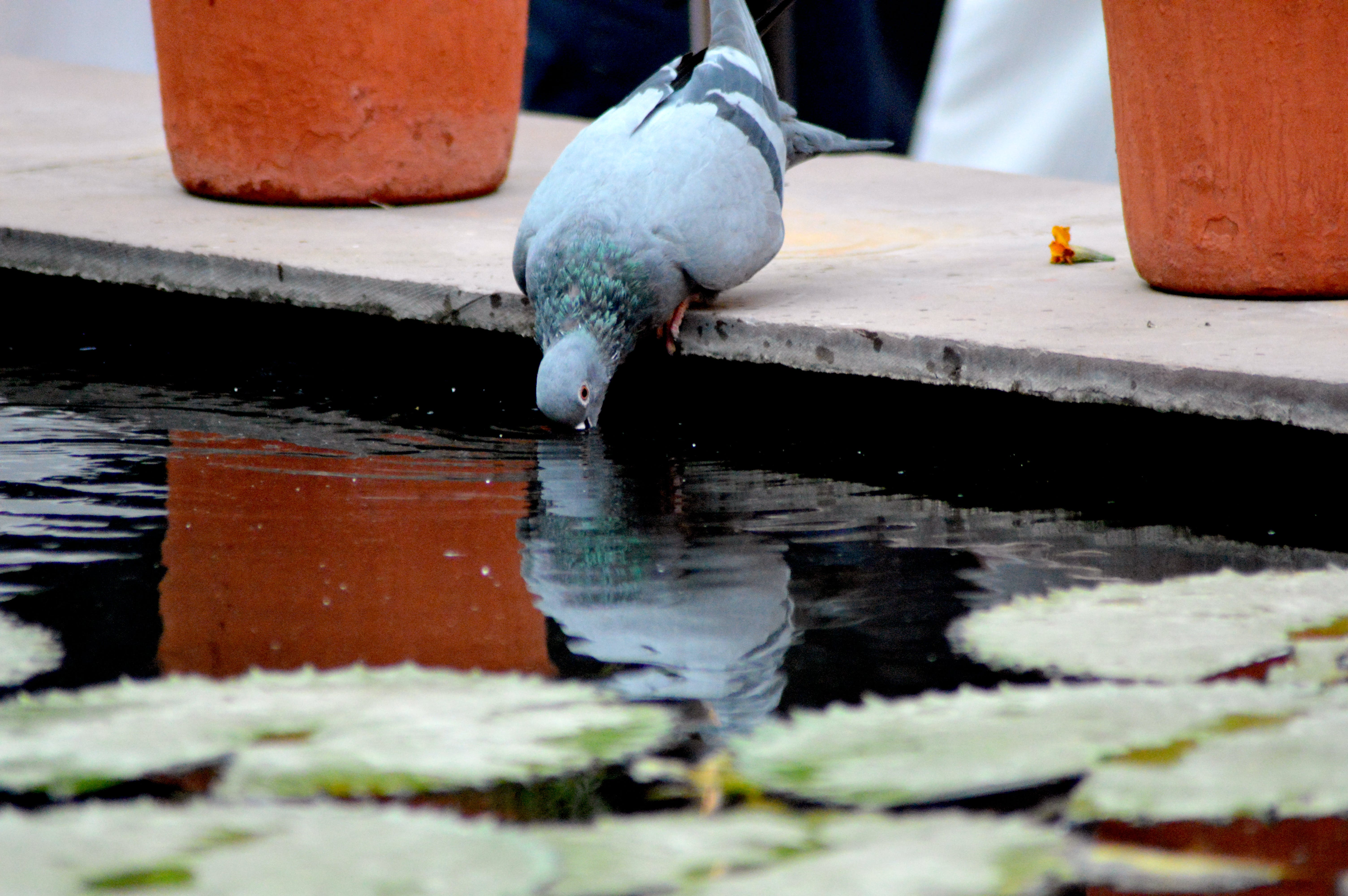 Free stock photo of drinking, pond, pigeons, pigeon