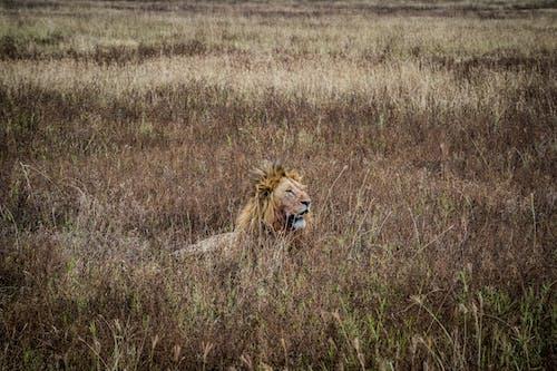 Lion on Brown Grass Field
