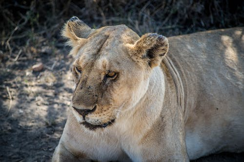 Brown Lioness Lying on Ground