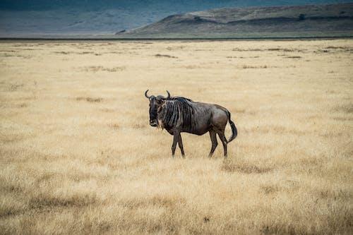 Free stock photo of african wildlife, animal, antelope