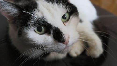 Darmowe zdjęcie z galerii z duże oczy, kicia, kot, kot domowy