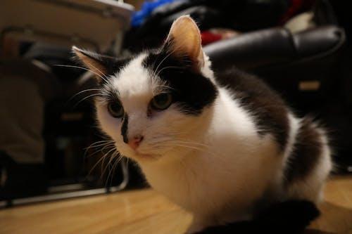 Darmowe zdjęcie z galerii z czarno-biały kot, kicia, kot, kot domowy