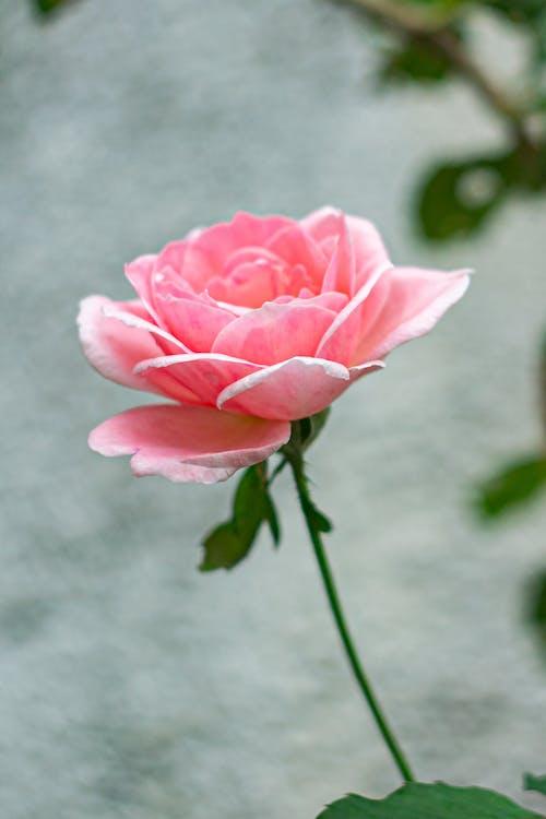 Photos gratuites de amour, beauté, bouquet