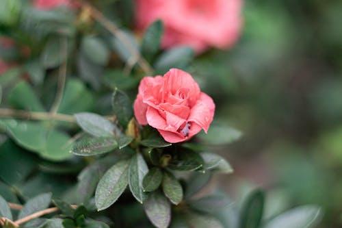 Imagine de stoc gratuită din aproape, arbust, azaleia