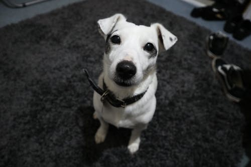 White Jack Russel With Black Collar