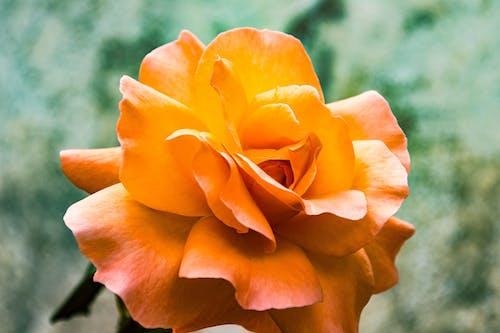 Photos gratuites de amour, belle fleur, cadeau