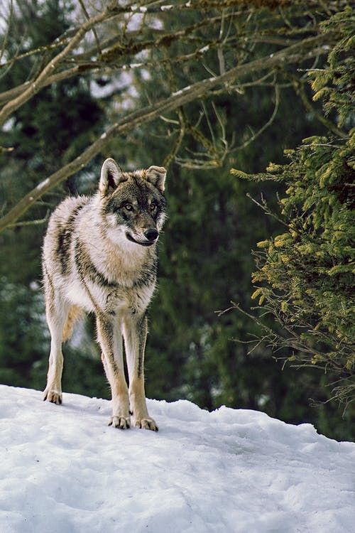 Photo of a Furry Wolf on White Snow
