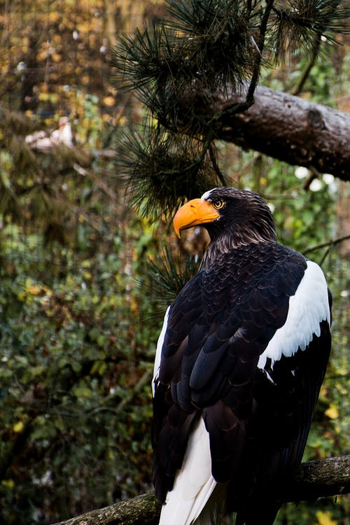 Close-Up Photo of a Steller's Sea Eagle Perched on a Branch of a Tree