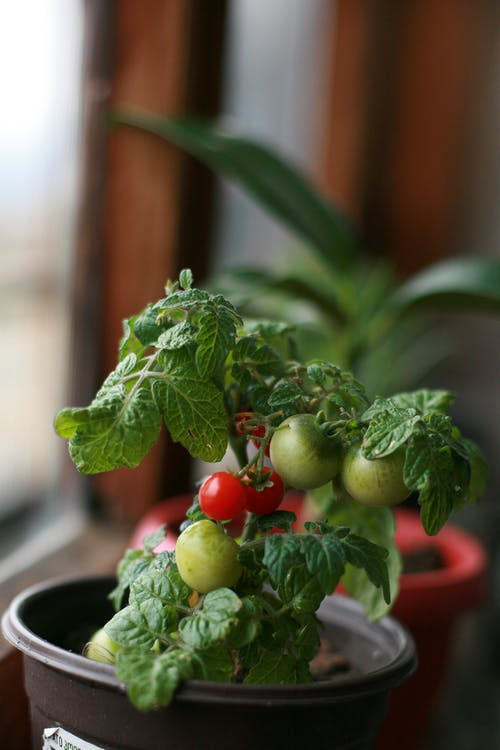Potted green tomato plant growing in room on windowsill