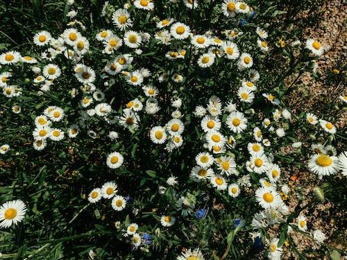 Photos gratuites de boho, champ de fleurs, marguerite
