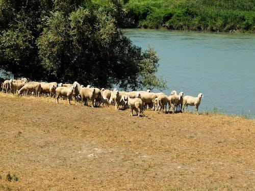 Photos gratuites de animaux, blog de voyage, moutons