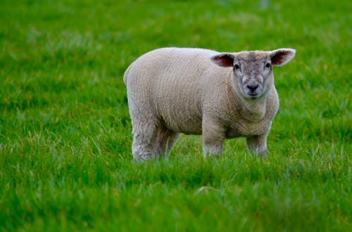 Photo of a White Sheep on Green Grass