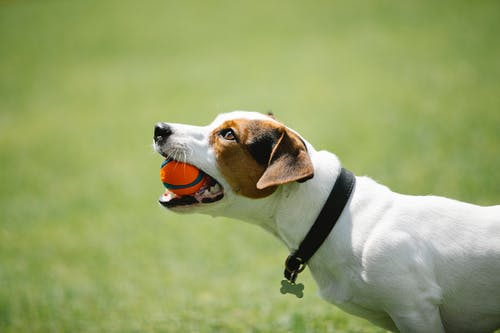 Side view of adorable Jack Russel terrier in black collar with metal bone holding toy in teeth on blurred background of green lawn in park