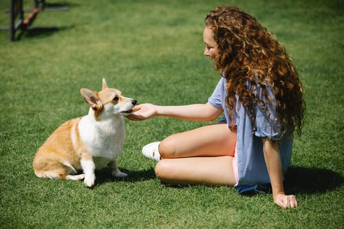 Side view of young female in casual clothes stroking Welsh Corgi Pembroke while resting on green lawn in summer