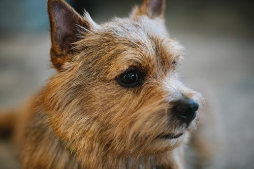 Closeup of adorable small purebred dog with brown coat and eyes looking away in daylight on blurred background