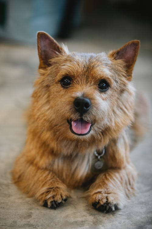 Norwich Terrier with pendant resting in daytime