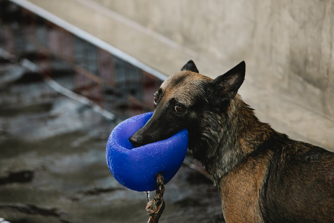 Purebred dog with black and brown wet coat biting buoy while looking away on poolside in daytime