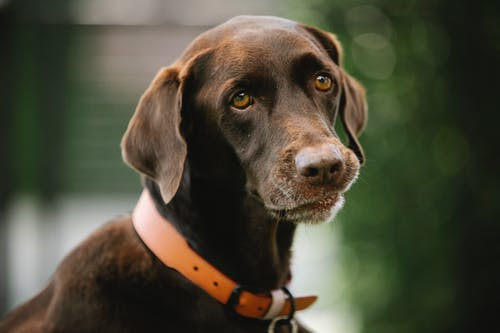 Gun dog with smooth brown coat in collar looking away in daytime on blurred background