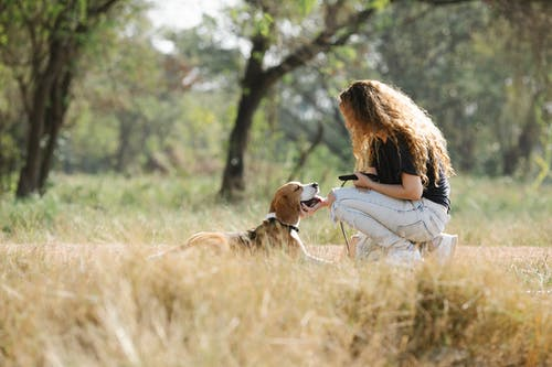 Side view of anonymous young woman with curly hair petting happy Beagle dog while spending weekend day in countryside