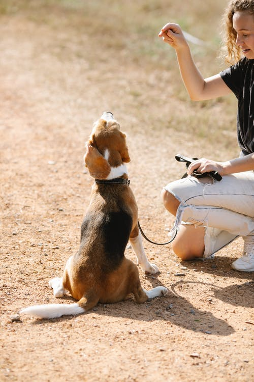 Crop female owner showing treat to sitting Beagle dog during training on countryside road on sunny day