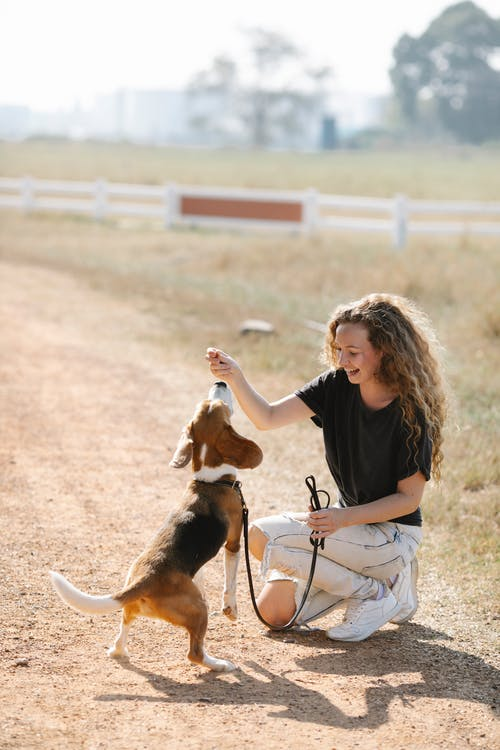 Full body young female smiling and giving snack to obedient Beagle dog during training on countryside road on sunny day