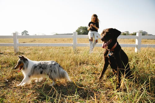 Collie and Labrador against woman chatting on smartphone in countryside