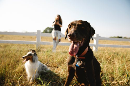Adorable playful Border Collie and Labrador dogs sitting on grassy lawn in enclosure near blurred female owner taking pictures on smartphone