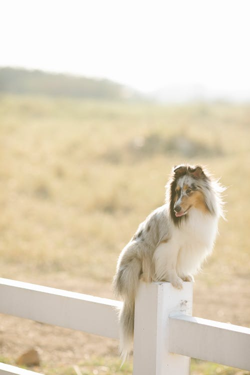 Young Rough Collie dog sitting on enclosure fence in countryside