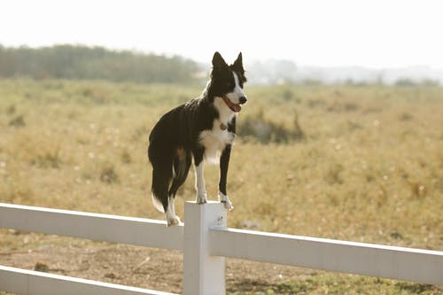 Full length loyal black Border Collie dog standing on enclosure fence in farmland on sunny summer weather