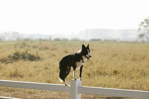 Full body adorable canine Border Collie dog standing on white enclosure fence in sunny summer farmland