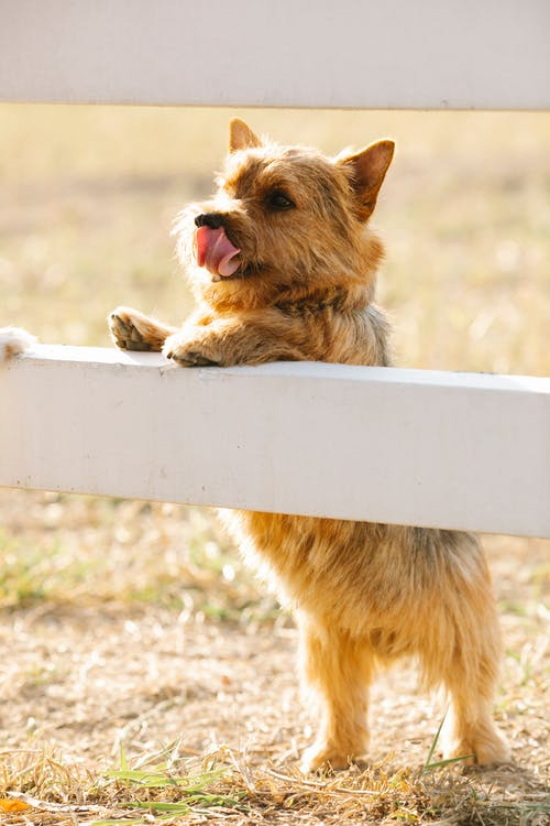 Adorable Norwich Terrier leaning on enclosure fence