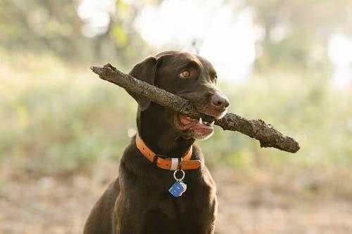 Labrador Retriever in collar with tag and twig looking away in sunlight on blurred background