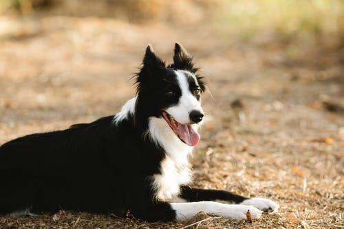 Cute purebred dog with tongue out and fluffy coat lying on pathway while looking away on blurred background