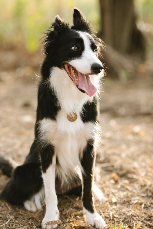 Charming purebred dog with black and white fur in collar looking away while sitting on terrain in sunlight