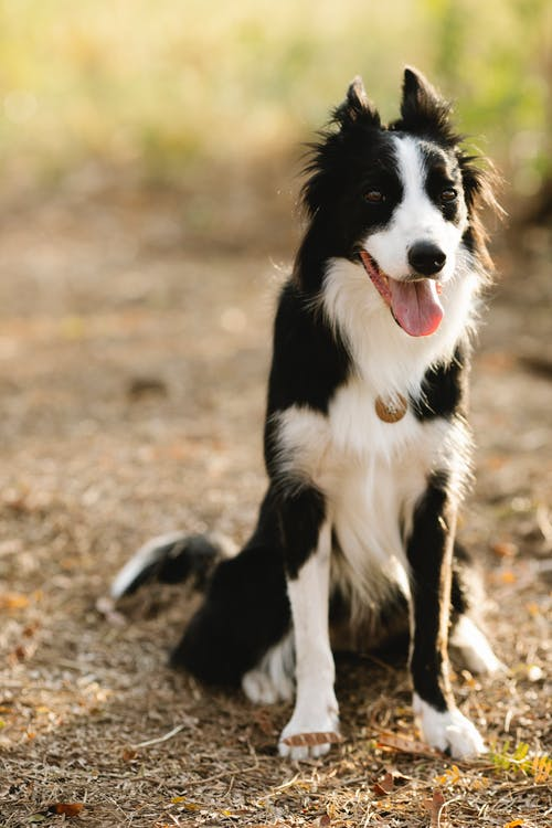 Border Collie resting on footpath in sunny park